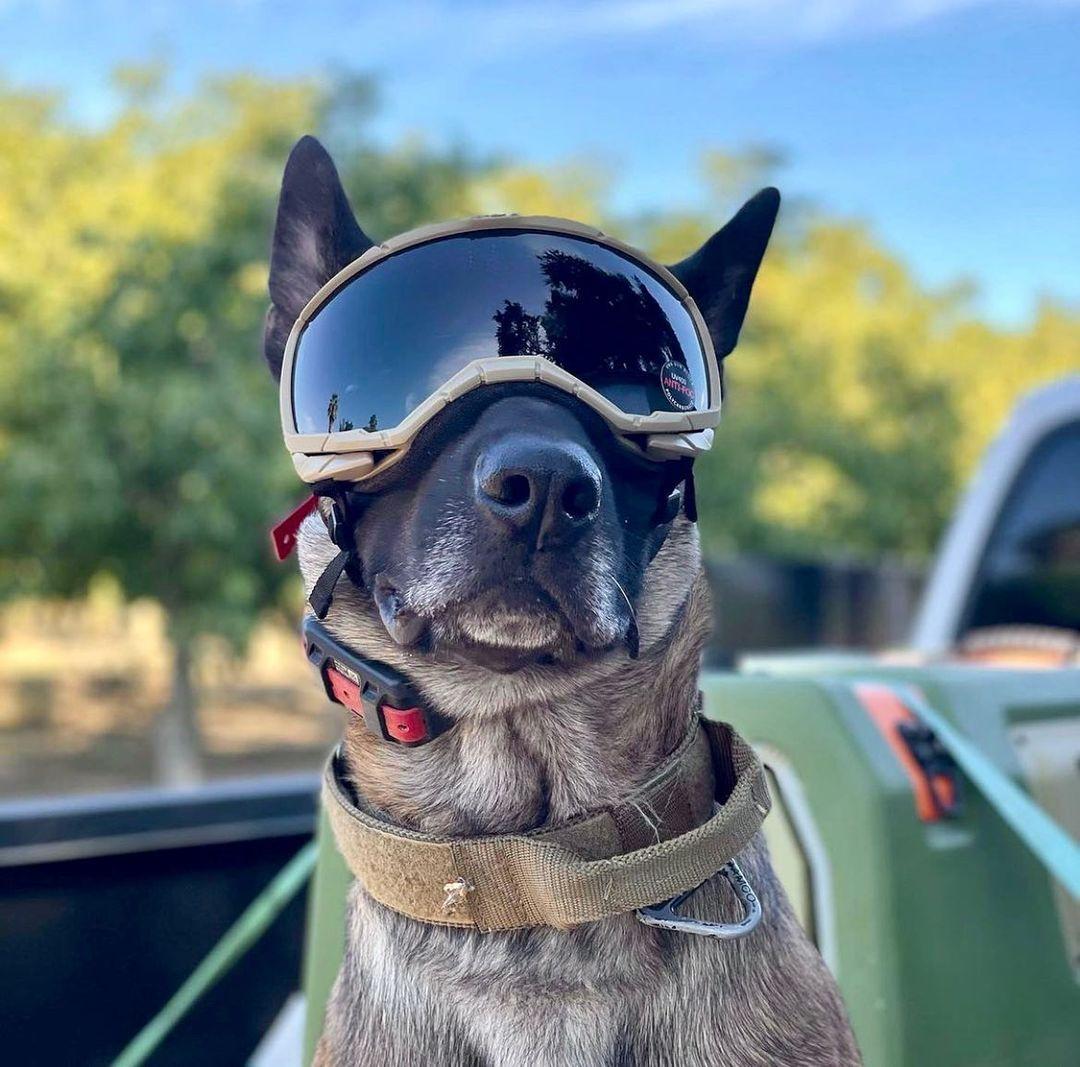 Repost @k9_raja   ・・・  New shades. Whats up foos.   ..  ..  #k9 #malinois #workingdog #mansbestfriend #gsd #california #cop #k9officer #bestdog #police #photooftheday  #nofilter #igers #picoftheday #love #nature #swag #doglovers #doglife