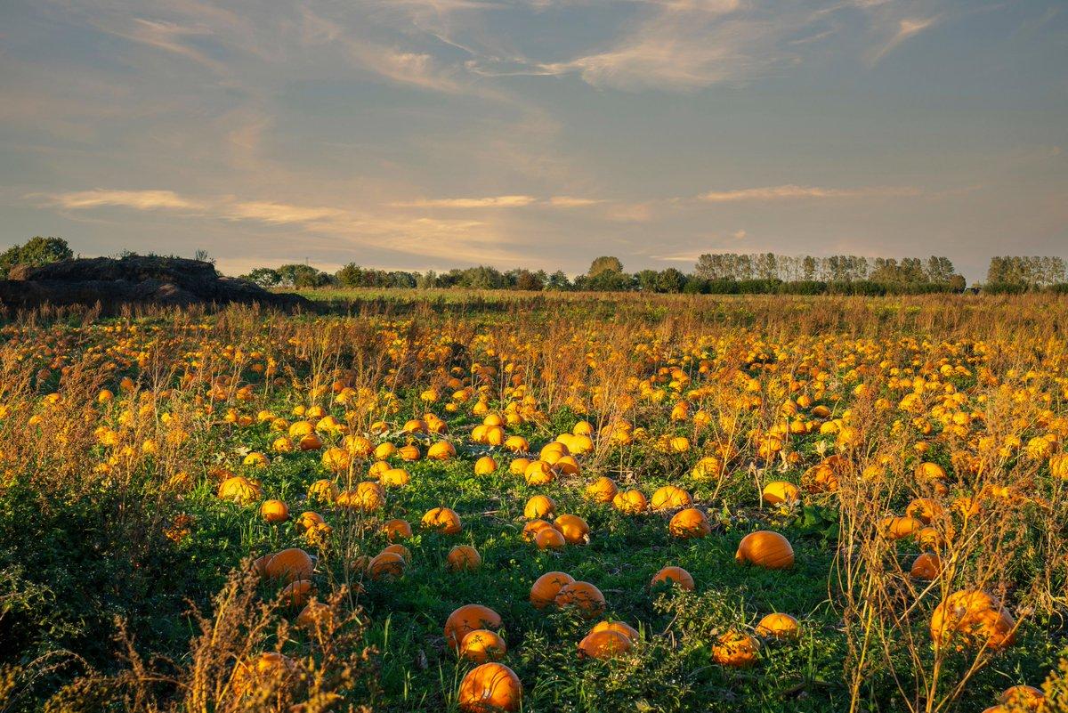 Ready for Halloween 🤔Pumpkin field 🎃in Naurbjerg, Denmark this evening.  #Denmark #NaturePhotography #SonyAlpha #photooftheday #September28th #tuesdayvibe #Tuesday #pumpkin  📸Dorte Hedengran