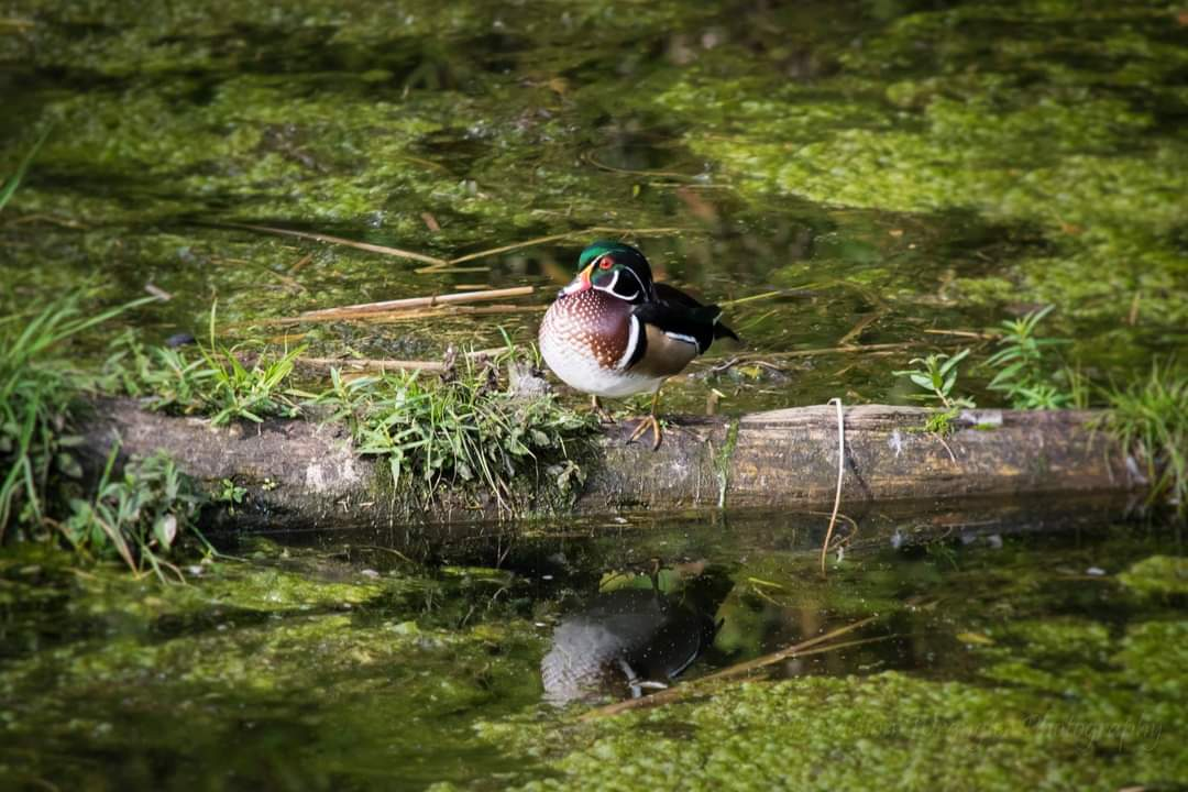 Brilliant colours of a wood duck sunning on a log. #photography #naturephotography #WalkingMyCommunity #PortCoquitlam #Coquitlam #nikon #naturetherapy #naturalassets #birds #ducks