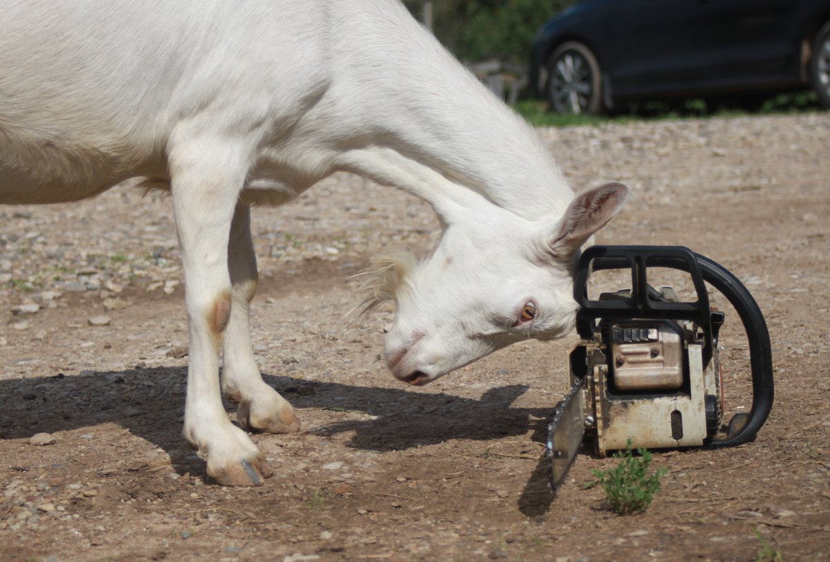 Oh, boy. Reno is almost done, Vinegar. Don't take your displeasure on the chainsaw.  #mondayfunday #goatastic #goatsareawesome