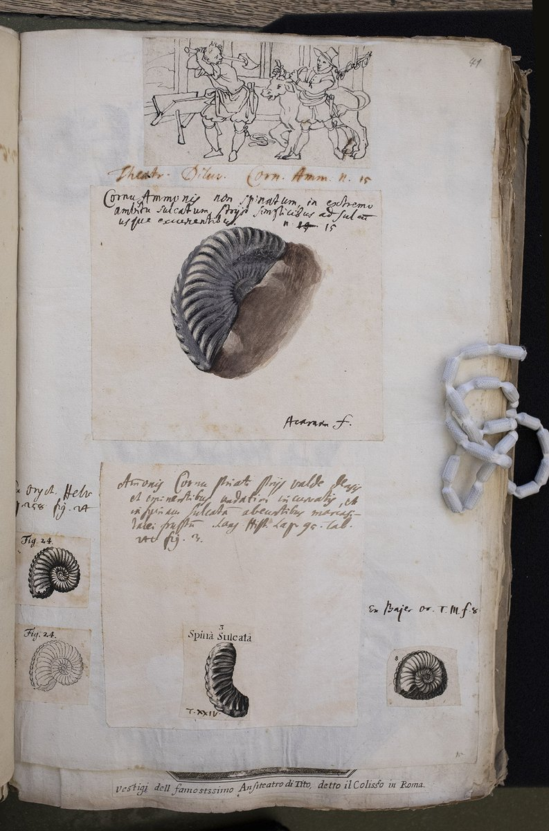 Another page from Scheuchzer's unpublished 'Lexicon Diluvianum' for #ManuscriptMonday, featuring two special images: A half-ammonite, painted by Sch. himself ('Acarnan' being his @Leopoldina nickname), and the dramatic (but bucolic style) cow-slaughter-to-come (ZBZ MS Z VIII 21)