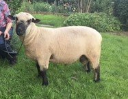 Mating season well underway with @CoombeAdrian with 12 new rams added to the @RamCompare team this season for Dupath Farm through AI and natural service using @BritishTexel @charollaissheep @HampsSheep @MeatLinc Shropshire and Suffolk @AHDB_BeefLamb @HybuCigCymru @qmscotland