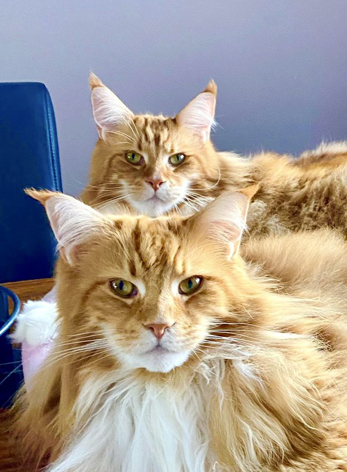 How handsome are these two looking today? Proper album cover pose! Have a great #Caturday everyone! 😸😸🦁🦁 #teamfloof #CatsOfTwitter