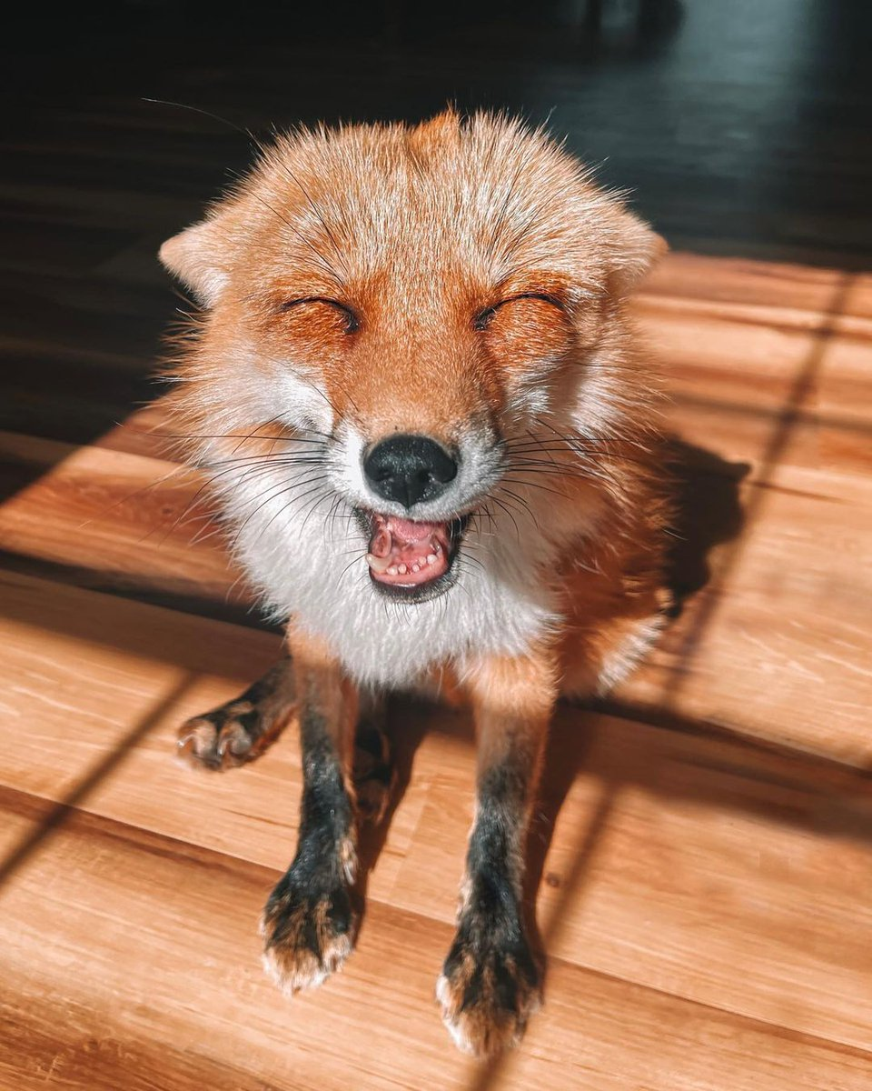 Your smiling is beaming 🎇🐶 @juniperfoxx #fox