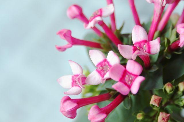 test ツイッターメディア - おはようございます。 今日の誕生花は「ブバルディア」。花言葉は「交流」です。  4つにわかれて花開く姿が十字架のように見えるため、ウェディングブーケに使われることも多いそう。 他に交わり、親交といった花言葉もあり、人と人の交わりを大切にする結婚式にもぴったりですね。 #誕生花 #花言葉 https://t.co/fEIge2I1uE