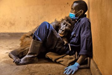 Belorilla dies in the arms of ranger who rescued her as an infant 14 years ago