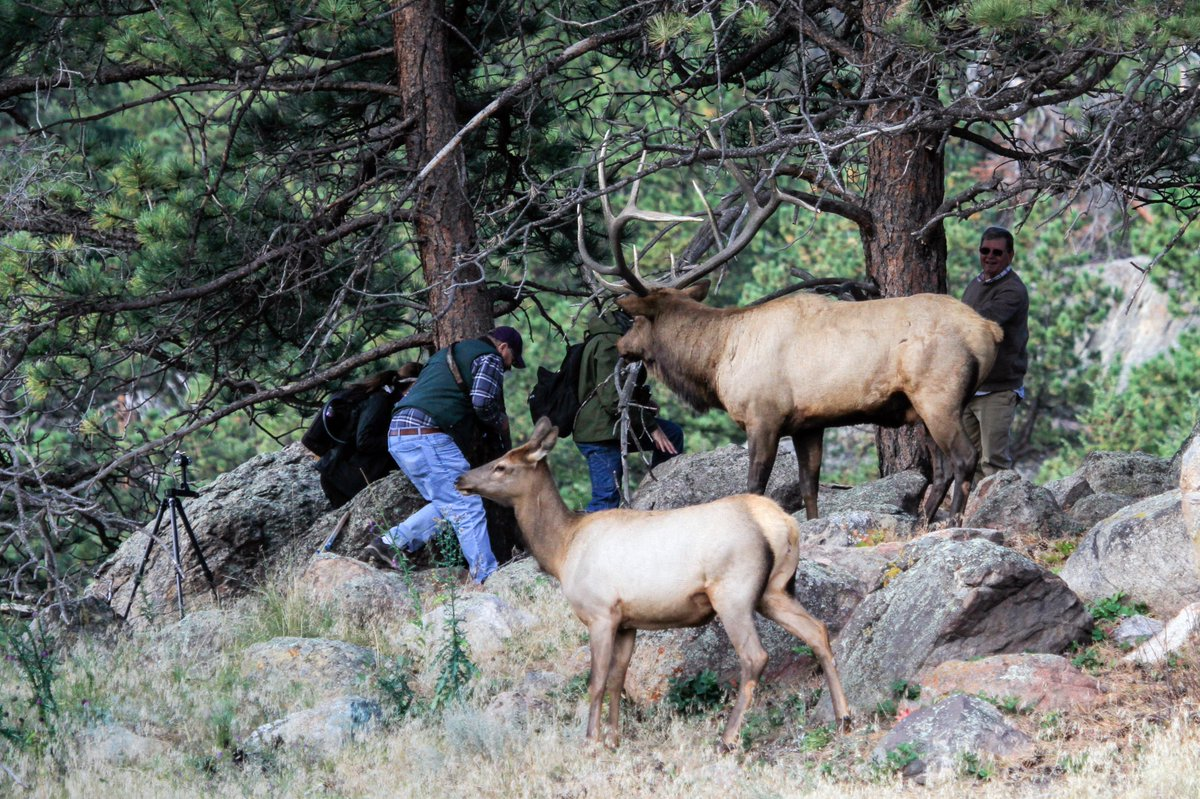 Elk rut (mating season) is currently ongoing in the #RMNP area. Bull elk, weighing up to 1100 lb, are busy & preoccupied. DO NOT APPROACH THEM! These are wild, unpredictable animals. View from >75 ft distance; DO NOT GET TOO CLOSE (photo is an example of dangerously too close)