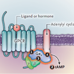 Image for the Tweet beginning: Obesity-associated #GNAS mutations disrupt #MC4R
