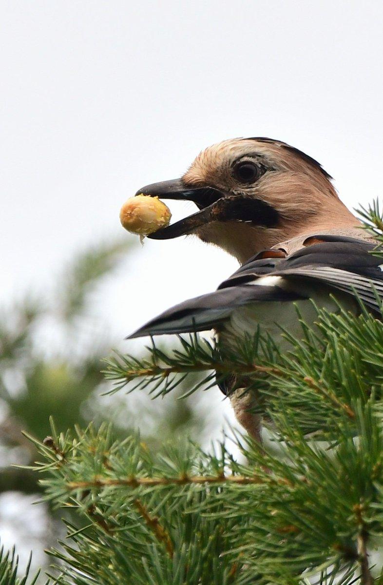 Çalışmalar başlamış #Alakarga  #hangitür #birdwatching #birds #nikonphotography #birdphotography #naturephotography #KuşGözlem