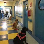 Image for the Tweet beginning: Les chiens thérapeutiques attendent les