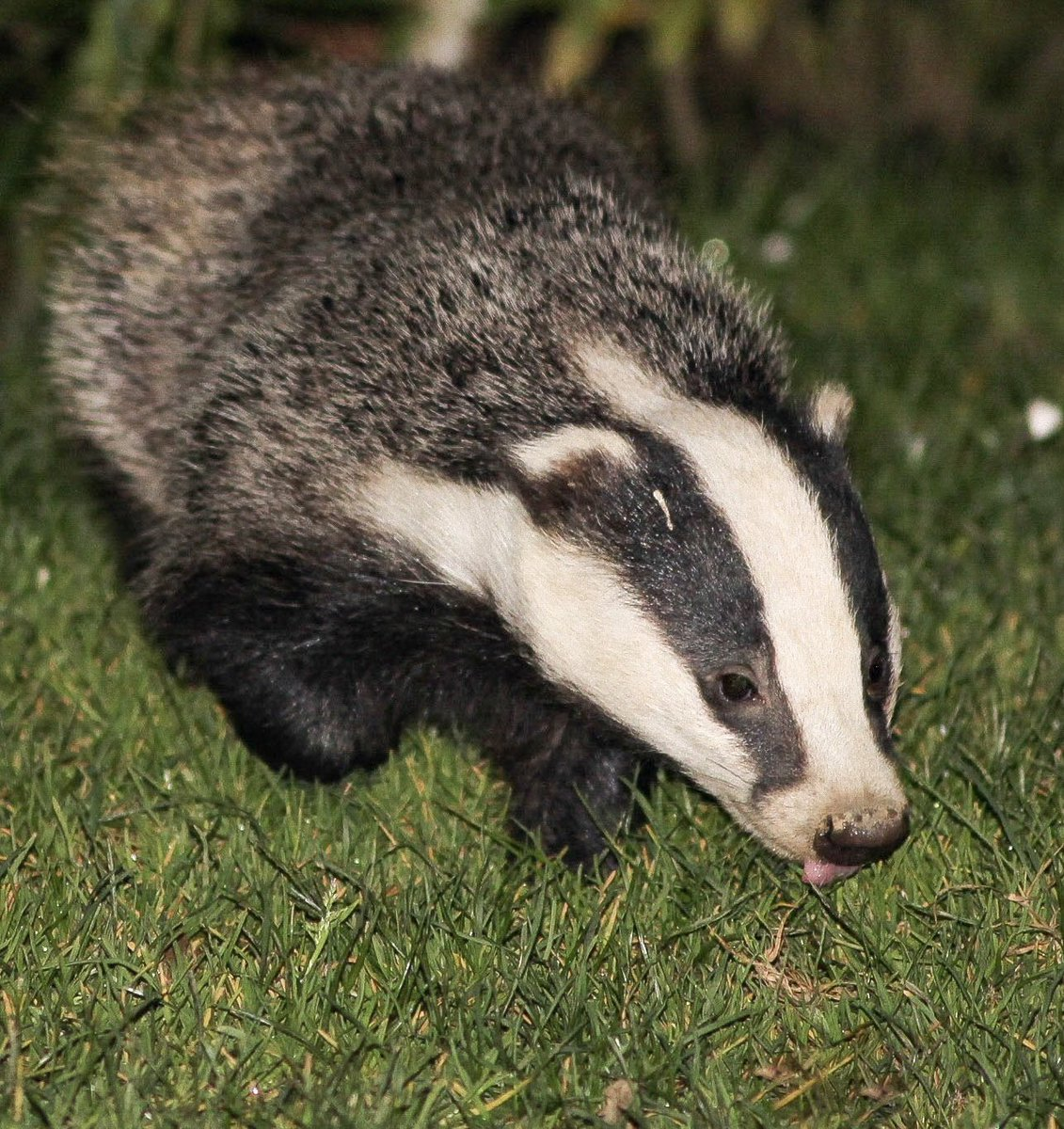 I may not be a dog or cat, but can I join in with #tongueouttuesday please? #badgers #NaturePhotography #naturelovers