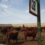 Image for the Tweet beginning: Klassen: Demand for feeder cattle