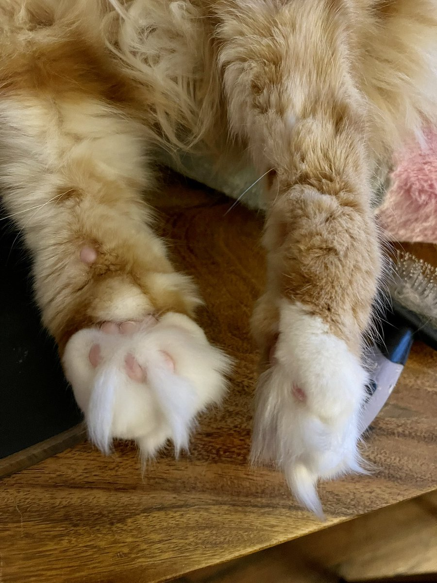 Some cute floofy feets for #ToeBeanTuesday - can you guess the owner? Huge thanks to everyone for the birthday wishes for Dadmin yesterday! 😸😸🦁🦁 #teamfloof #CatsOfTwitter