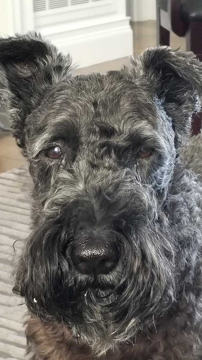 Someone just ate half a bowl of brusselssprouts... Don't ask how. & She's in a stare down- at me,  because she knows I have more and took them away mid gobbling.  May be a longnight with gaseous aromas...&/ or running outside every half hr. #kerryblueterrier #rescuedog❤  🤔😂💩