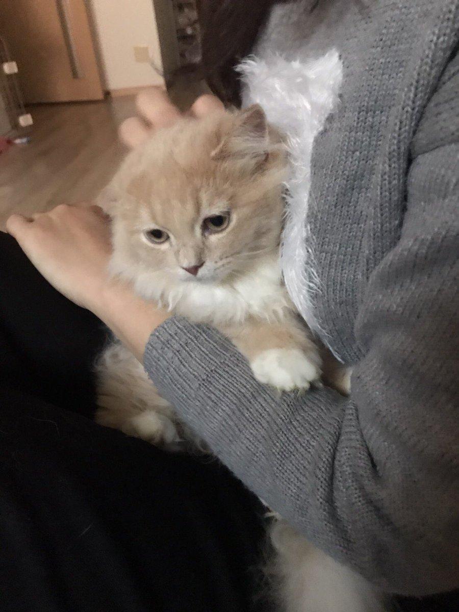 🙇♀️拡散希望🙇♀️ 千葉県船橋市西船橋の自宅より迷子になった猫シンバを探しています。 かけがえのない家族、宝です。保護につながる有力な情報をくださった方、捕まえてくださった方、保護してくださってる方には謝礼金30万円+シンバにかかったお金をお支払いいたします。ご協力お願いいたします。#猫