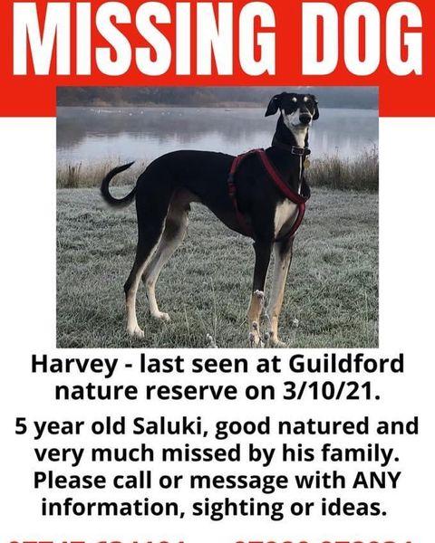 HARVEY #missing presumed #Stolen ❤️🔥3/10/21 #guildfordnaturereserve #burpham #GU4❤️🔥Male/adult #saluki black & brown TAGGED & CHIPPED facebook.com/groups/3930511… @ruthwill64 @rosiedoc666 @CarolPoyerPeett @KarenFi51820768 @MissingPetsGB @DogsofTooting @veryluckypugs