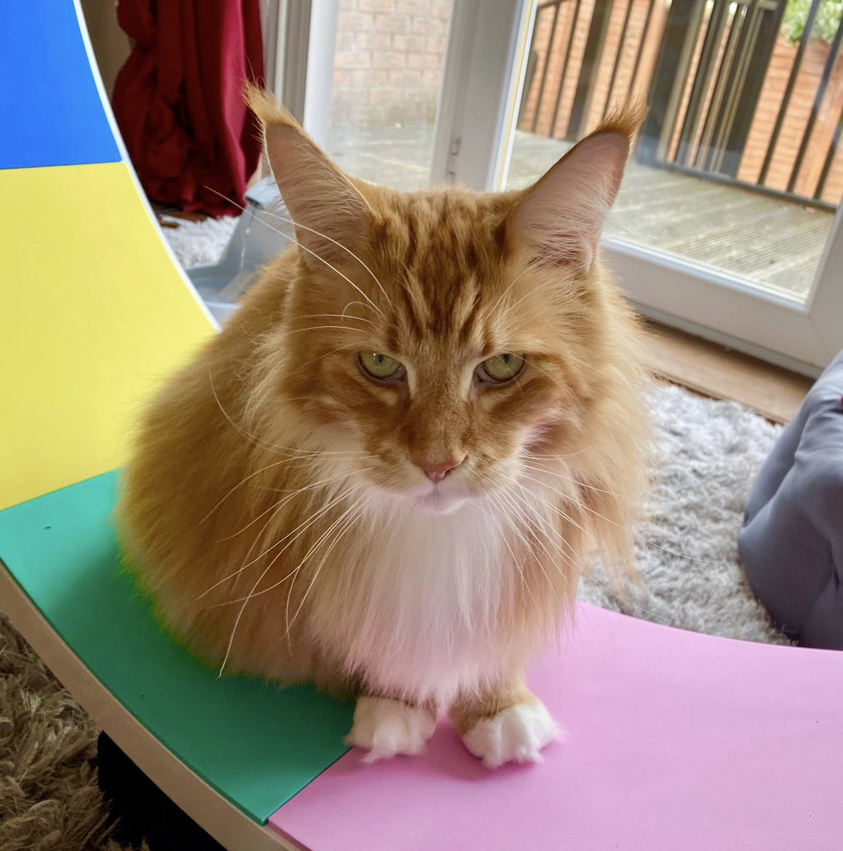 Slow progress with the wheel but we're getting there! Sitting on it is a start 😹😹🦁🦁 #WhiskersWednesday #teamfloof #CatsOfTwitter