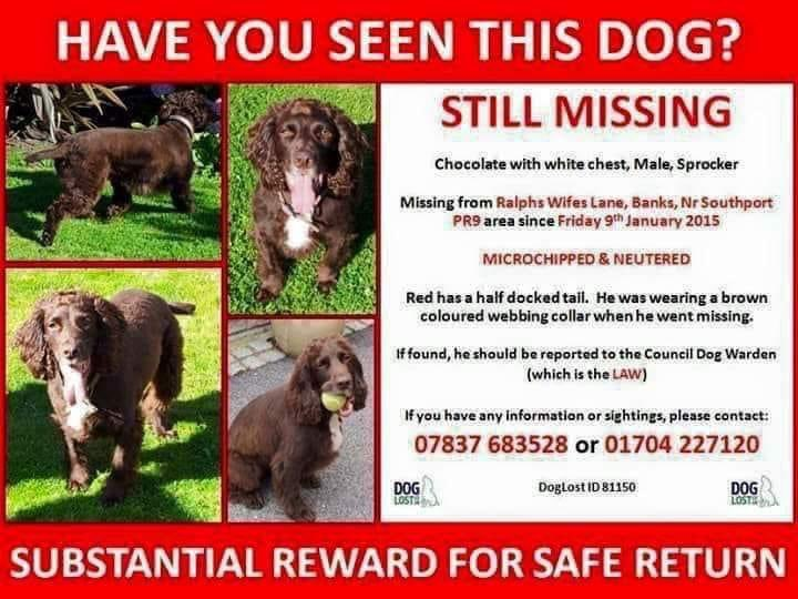 """#SpanielHour SO SAD….. """"Still missing after 6 yrs. The pain of his loss never goes away."""" 9/1/15 RED missing so long 💔 #PR9 Chocolate/white chest #Sprocker m.facebook.com/Help-Red-Home-… @RachaelB100 @Spaniels_Rule @SundaySpaniels @__CockerSpaniel @bs2510 @karen11564937"""