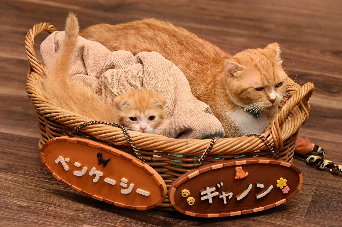 test ツイッターメディア - 家族、ふえました✌🏻(  ◜𖥦◝  )✌🏻 みなさん、可愛がってください🐈💓  #ベンケーシー #ギャノン #猫ちゃん #赤ちゃん #子猫 #家族増えました #猫垢 #猫好きさんと繋がりたい https://t.co/PUGOFQRVHX