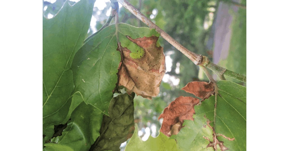 Do you work in the tree care segment of the industry? Here are 10 tree diseases you should watch for, as told by @DaveyTree. https://buff.ly/3vfDEPd