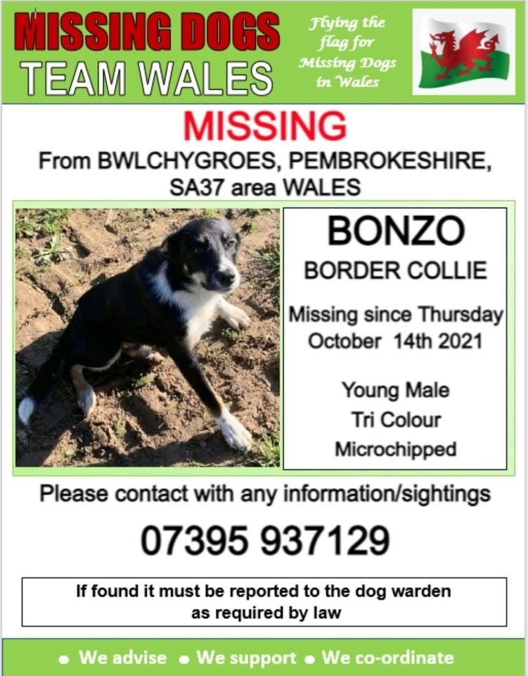 🔻 BONZO A YOUNG MALE TRI COLOUR BORDER COLLIE IS MISSING ATM IN BWLCHYGROES PEMBROKESHIRE SA37 🔺️Since Thursday 14th October Bonzo is MICROCHIPPED @Anthony_Bailey_ @mazzy1412 @RedWPC @missingdogwales @CarolPoyerPeett @rosiedoc666 @RachaelB100