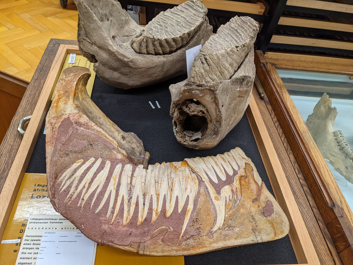 🐘🐘 usually chew on one set of🦷 (upper part: lower jaw with 2 molars). Humans replace their 🦷 vertically, so a new 🦷 forms underneath the old one. 🐘🐘 replace their 🦷 horizontally. The new tooth pushes from behind to the front as you can see below in section.#FossilFriday