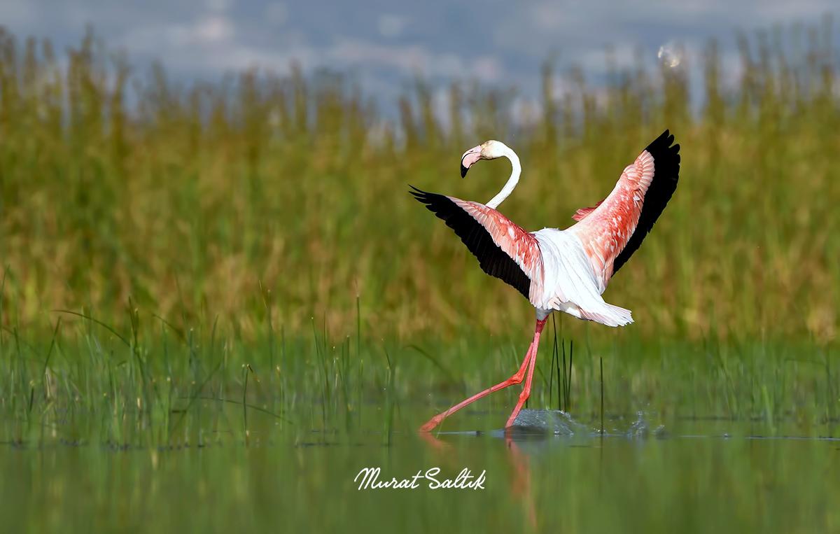 Böyle güzel #Harmandalı oynamayı isterdim açıkçası.   #hangitür #birdwatching #birds #nikonphotography #flamingo #birdphotography #naturephotography #KuşGözlem