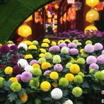 "Image for the Tweet beginning: 【赤橙黃綠青藍紫!來看菊花開成彩虹🌈】中國開封第39屆菊花文化節於14日晚開幕,在清明上河園景區的國際菊花展上,來自15個國家的700餘個品種的菊花競相盛放,還有罕見的綠色菊花和多種顏色集於一身的""彩虹""菊花。"