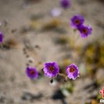 "Image for the Tweet beginning: 【智利沙漠開出粉色花海】近期,智利阿塔卡馬沙漠鮮花盛開。在季節性降雨頻繁的年份,會出現一種被稱為""沙漠開花""的自然現象。大約200種沙漠植物的種子在降雨後約兩個月突然發芽。"