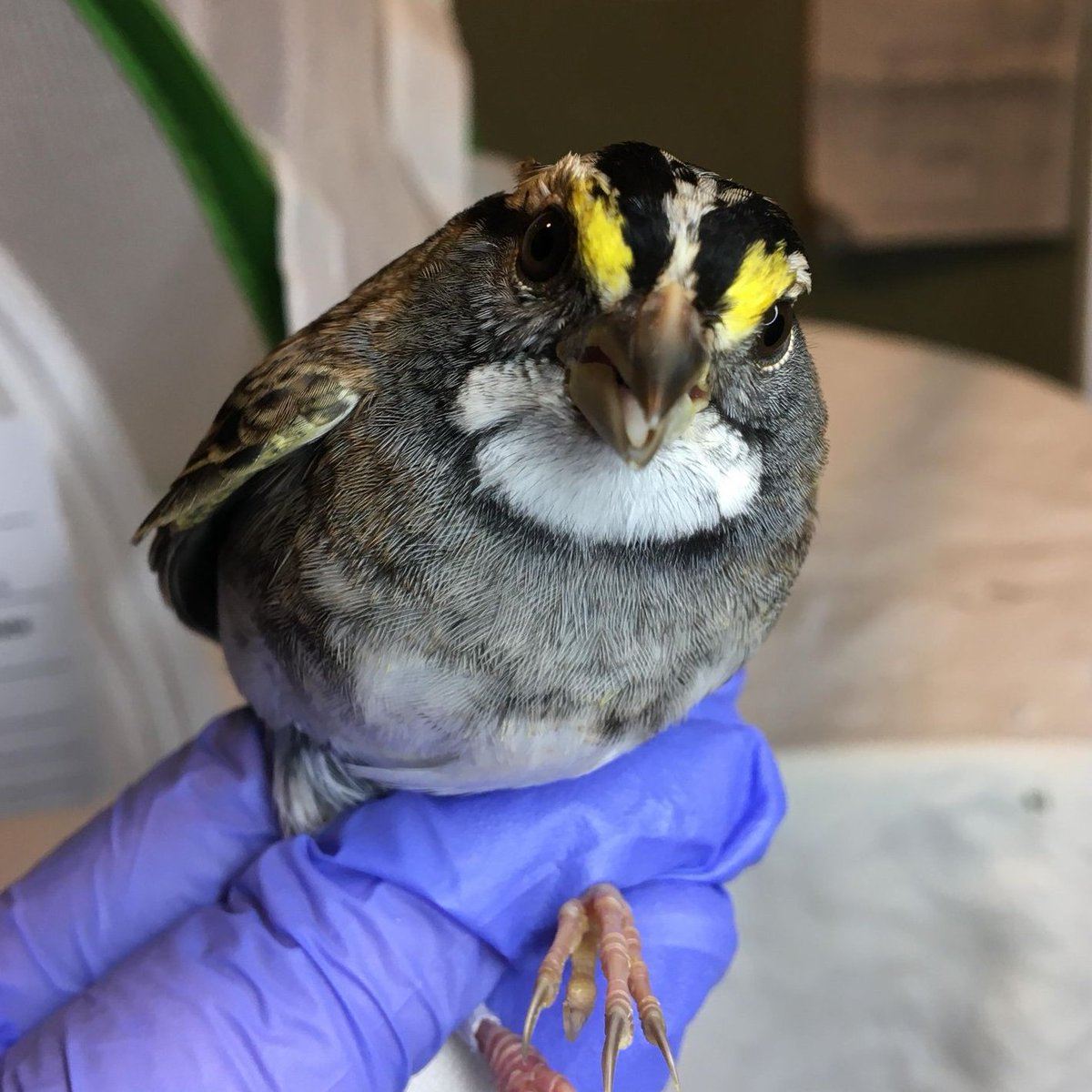 On behalf of this impeccably attired white-throated sparrow, we bid a good evening to everyone except for the window @BFPLny he collided with. Actually, we'll just go ahead and un-greet all the lower-level windows @BFPLny until they are made safe for birds. 📷: Phyllis Tseng