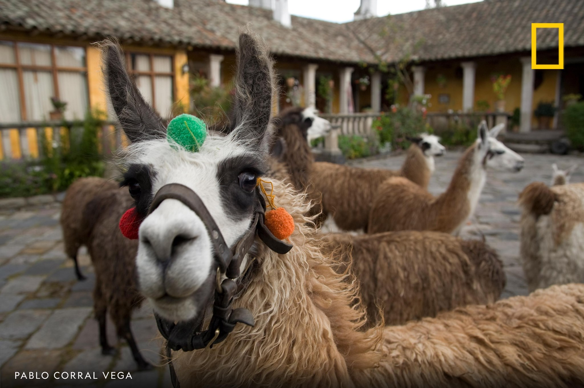 Llamas congregate at the 15th century Hacienda San Agustin de Callo in this image captured by photographer Pablo Corral Vega in Ecuador. https://t.co/BAoeJY4IGa
