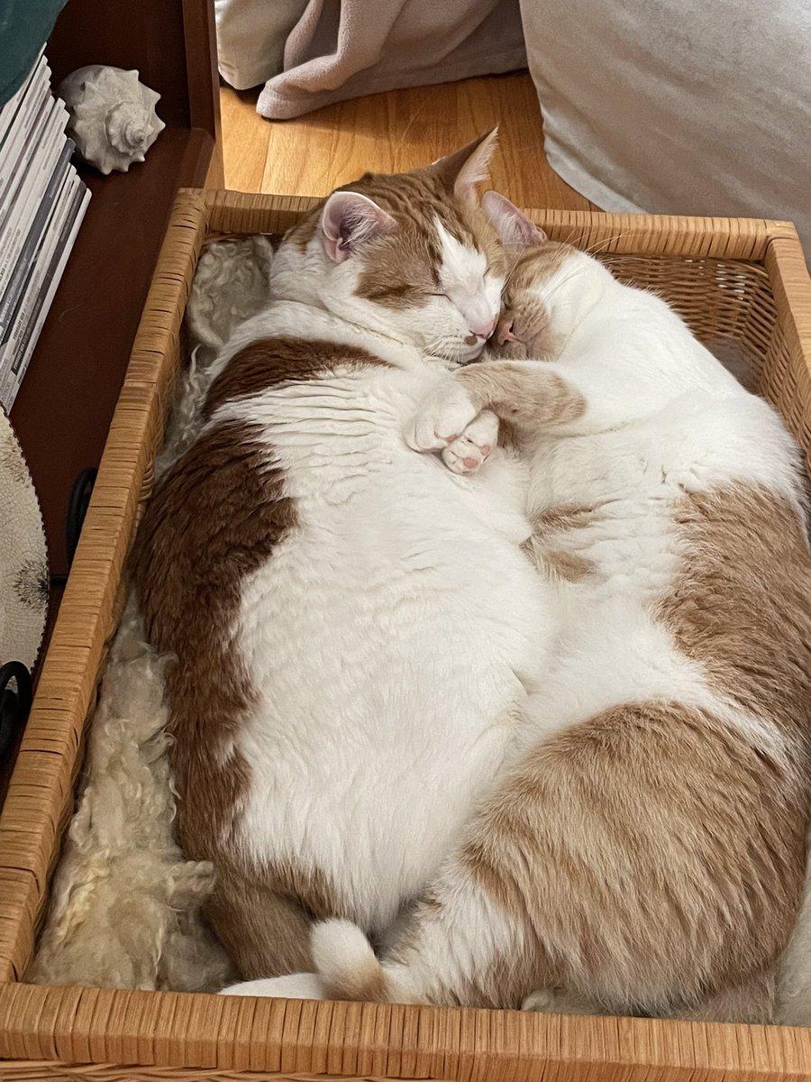 Colby and Calypso enjoying a romantic evening. 🍷 🎶💞💗💕  #Mondayvibes #MondayFunday #catsoftwitter #gingerboycat #gingergirlcat #catlove