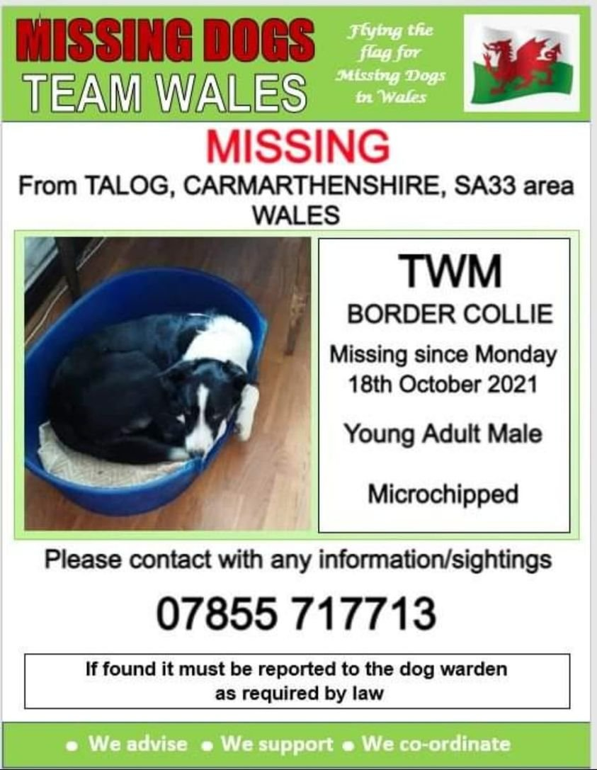 🔻 TWM A YOUNG ADULT MALE BORDER COLLIE IS MISSING ATM FROM TALOG AREA CARMARTHENSA33 🔺️Since Monday 18th Oct 💥#Chipped @Anthony_Bailey_ @mazzy1412 @RedWelshy @missingdogwales @CarolPoyerPeett @RachaelB100 @rosiedoc666 @KarenFi51820768 @thedogfinder @veryluckypugs @bs2510