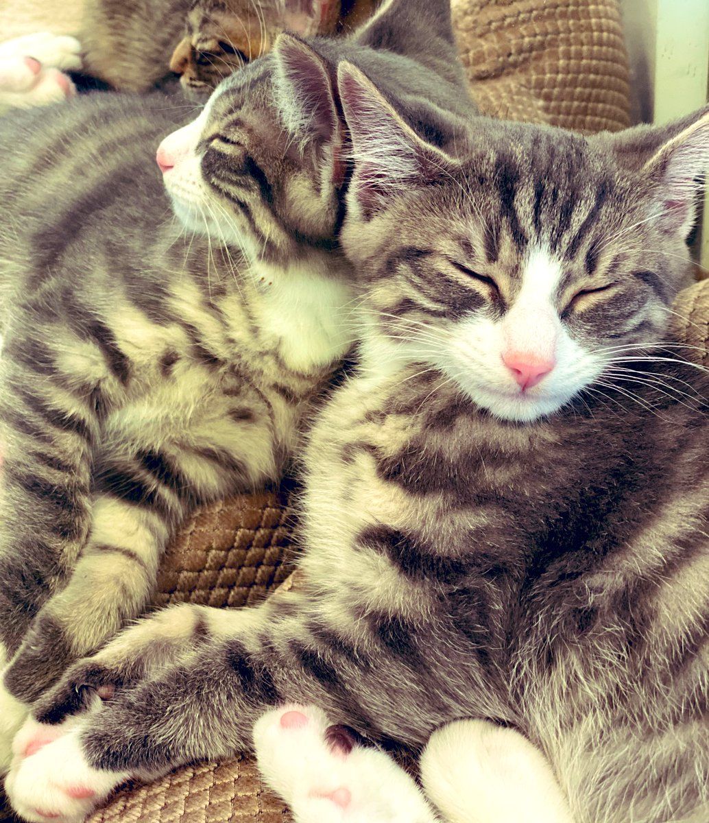 Mornin #DoubleTrouble   #Fosterkittens #cute #cats #CatsOfTwitter #kittens #kittensoftwitter #catsofinstagram #meow