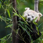 Image for the Tweet beginning: Roter Panda. Süss, oder?