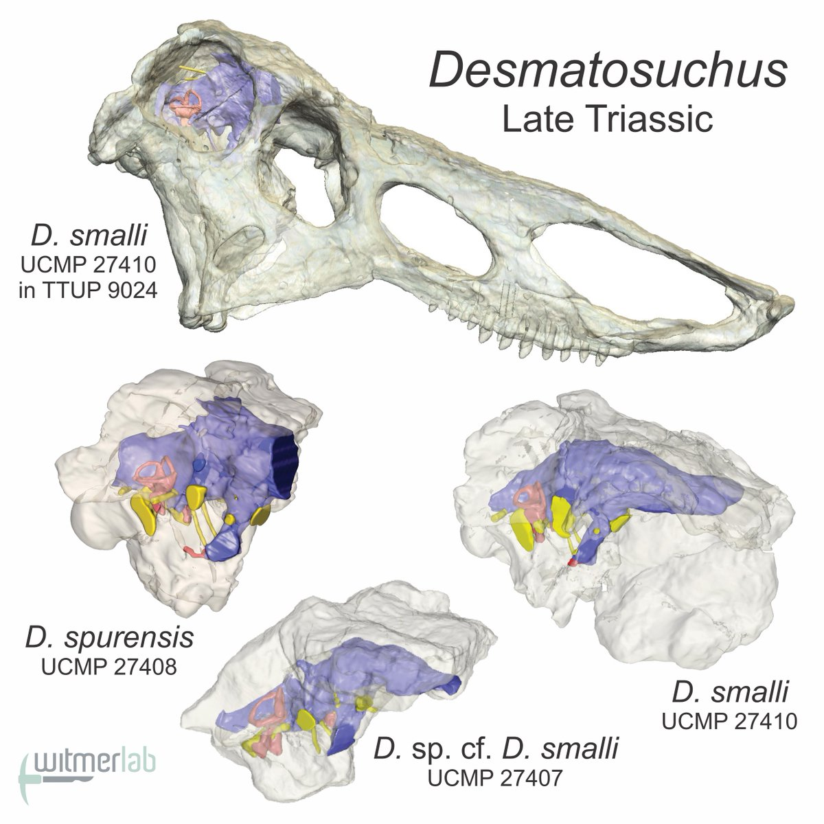 Thrilled to have this new article in @AnatRecord out today! Aetosaur brain endocasts w/ great collaborators led by Belén von Baczko & Julia Desojo. #Paleoart by @victorleshyk  Ryan Ridgely & I first scanned these @ucmpberkeley fossils many yrs ago—glad to finally get this out!