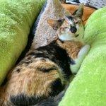 Image for the Tweet beginning: .  子猫部屋にいる〖 カリナちゃん 〗  大人しい時は静かにしていますが スイッチが入ると賑やかで活発です☺️✨  よく食べて元気に遊ぶ! 左の目が少し曇っていますが 健康特に問題ありません。  お鼻の模様が可愛いカリナの里親様を 募集しています🙇♀️💓  #保護猫 #秩父 #保護猫を家族に