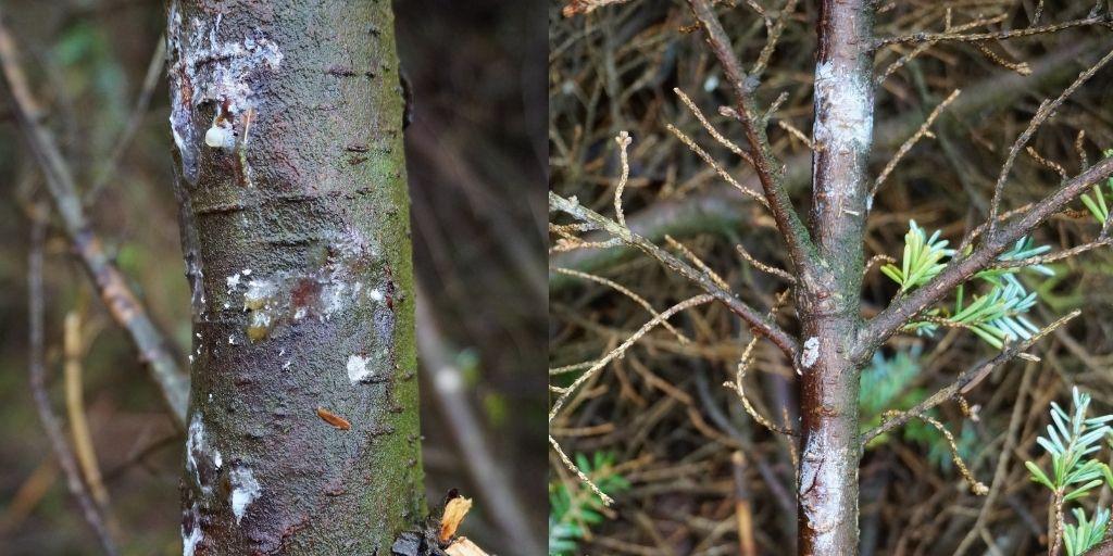 Keep an eye out on Western Hemlock & Douglas Fir  (and some pines - P. radiata, patula & strobus)