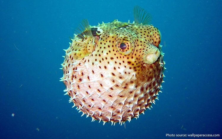 In a compromise the French will be allowed to Trawl near Jersey but restricted to Yarrell's Blenny and Puffer Fish #FishWar #FruitsdeMer #MacronMeunière