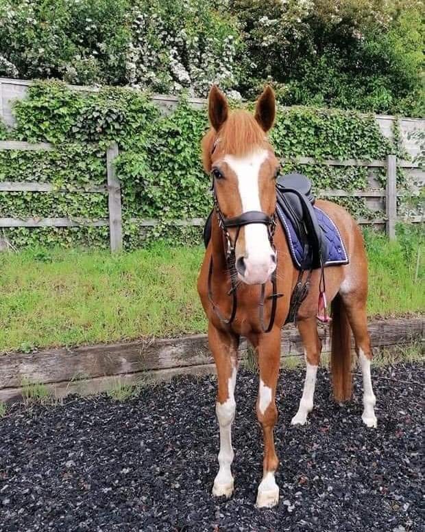 COPIED Rio #stolen while on #livery with thief!! He belongs to my very dear friend @rebeccakingswood_dressage He is 16.3 5 yr old If any1 knows where he is pls come forward with info Pls ppl help make him #TooHotToHandle 🔥 TY facebook.com/1563646916/pos… @Countrylifemag @bs2510