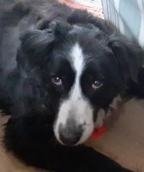 🔴CODE RED🔴elderly Collie has doggie dementia & deaf/blind missing 19/10/2021 #Malmesbury & #Crudwell #Wilts #SN16 #Chipped & #tagged contact 07891425607 doglost.co.uk/dog-blog.php?d… @rosiedoc666 @veryluckypugs @RachaelB100 @MissingPetsGB @CarolPoyerPeett @KarenFi51820768