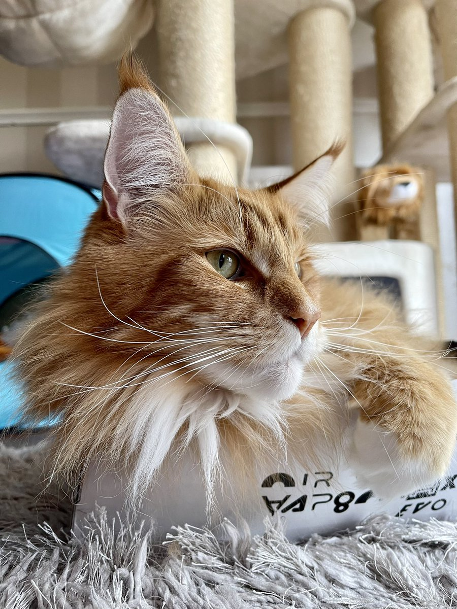 Some wonderful whiskers on display from our resident cat head in a box 😹😹🦁🦁 #whiskerswednesday #teamfloof #CatsOfTwitter