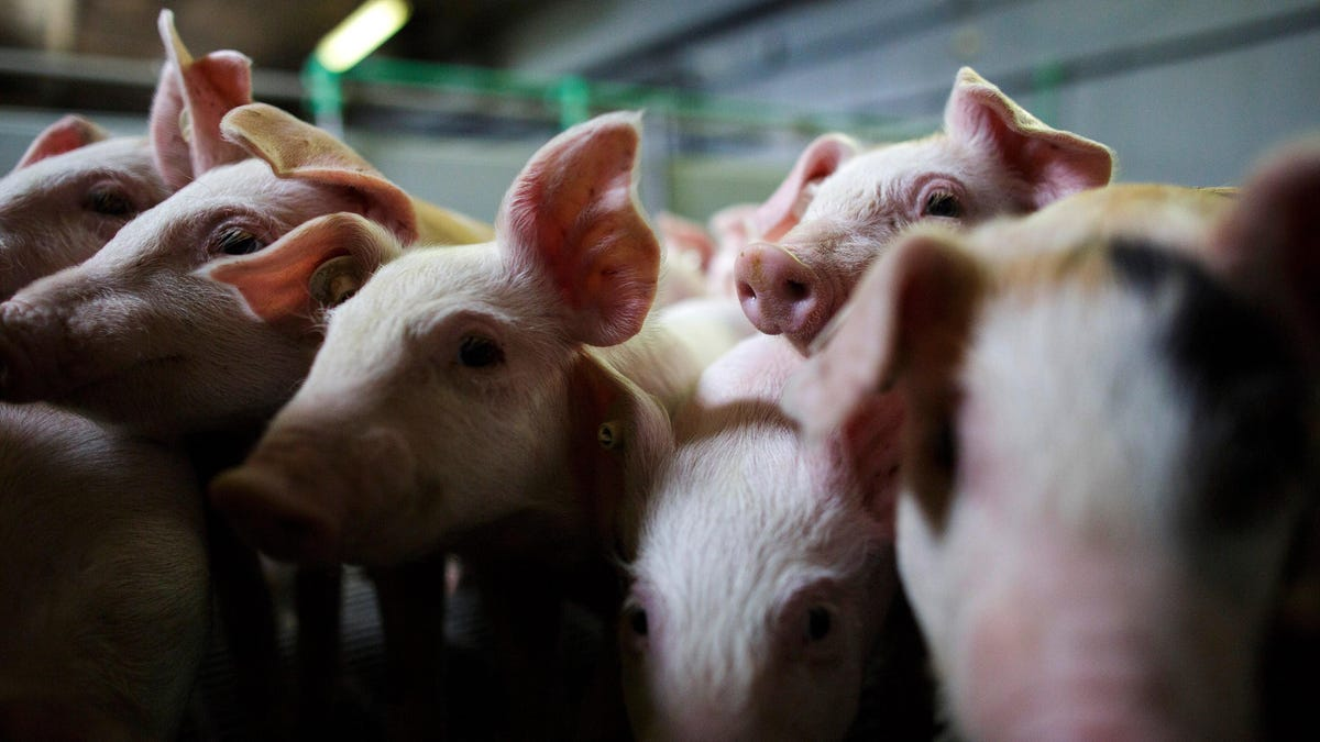 RT @Gizmodo: Doctors Claim to Have Successfully Transplanted a Pig Kidney Into a Human