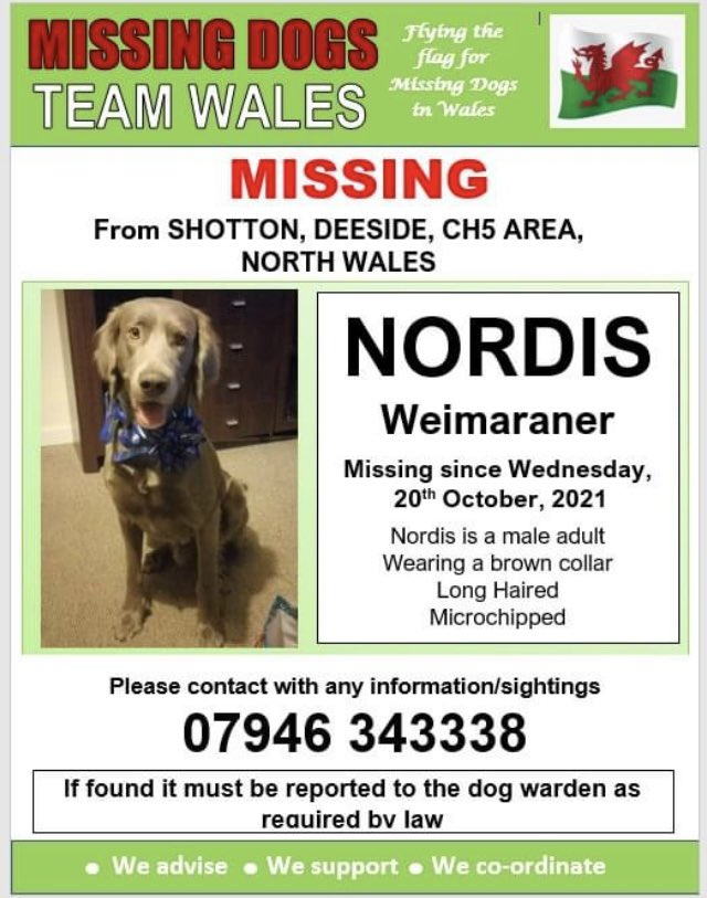 💥NORDIS, MISSING FROM SHOTTON, DEESIDE, CH5 AREA, NORTH WALES SINCE WEDNESDAY, 20TH OCTOBER, 2021💥 🔺MICROCHIPPED🔺 Please look out for this lovely boy and ring the number on the poster with any sightings. ‼Please do not chase‼ #Missingdogsteamwales