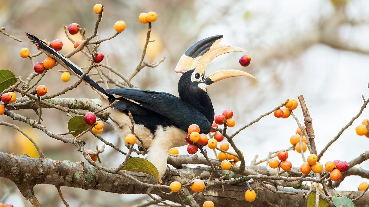#ThrowbackThursday Malabar pied hornbill #birb #birdwatching #IndiAves #tbt #birdsofindia #ThePhotoHour