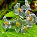 Image for the Tweet beginning: 𝗗𝗶𝗽𝗵𝘆𝗹𝗹𝗲𝗶𝗮 𝗴𝗿𝗮𝘆𝗶es una planta herbácea