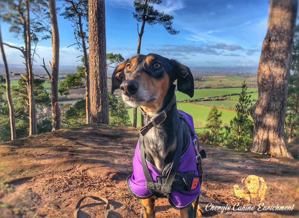 Please retweet to help Bob find a home #SHREWSBURY #ENGLAND Aged 6-7, you may remember me sharing Bob over a year ago He's looking for an experienced adult home, he could live with a similar female dogs, please SHARE DETAILS or APPLY👇 grinshillanimalrescue.co.uk/-dogs-for-reho… #dogs #pets #UK