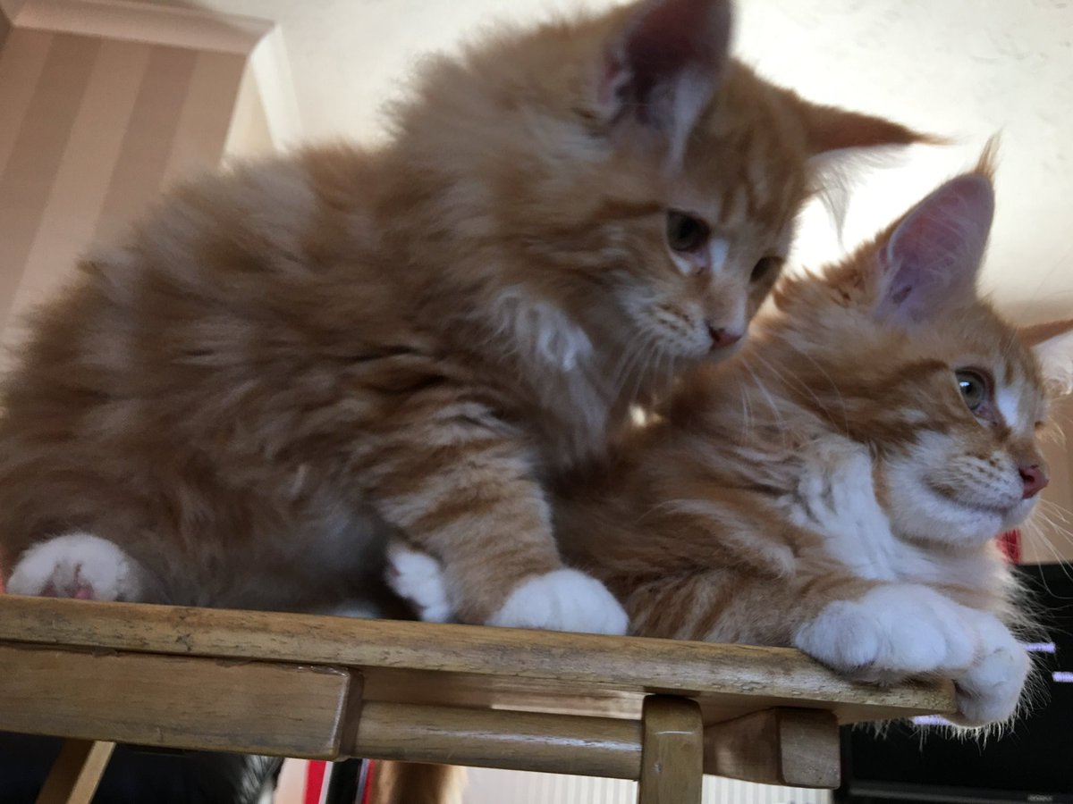 Another classic #tbt from #teamfloof as they sit together on a table which today would be swamped by one tail! 😹😹🦁🦁 #fluffyfursday #CatsOfTwitter