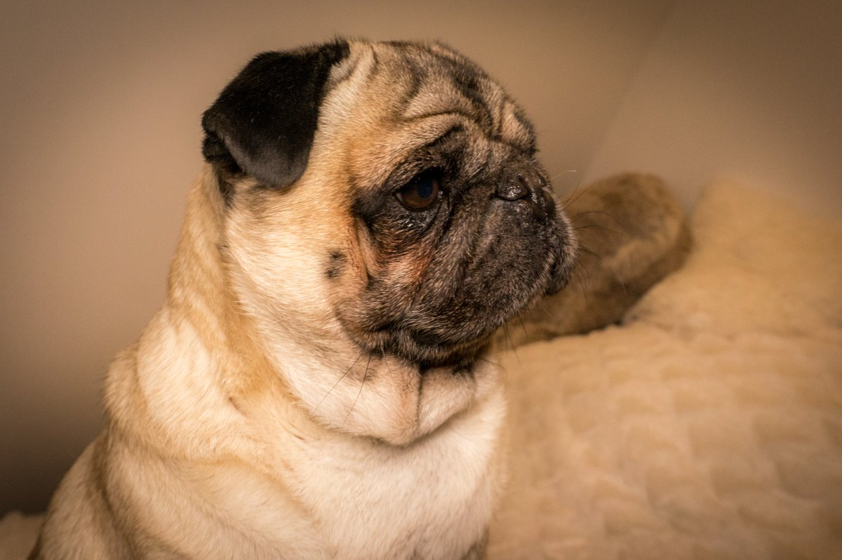 OMG! 😲 I'm so stressed because I only have ten days left to organize my birthday party 🎂🥂🎉 #MauriceThePug #TheUniverseOfMaurice #birthday #birthdayparty #pug #puglife