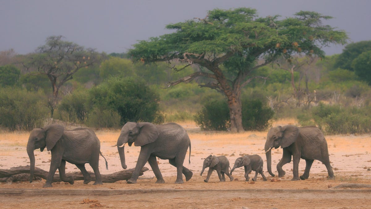 RT @Gizmodo: Ivory Poaching Blamed for Rise of Tuskless African Elephants